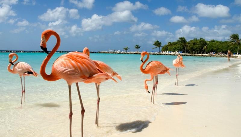 Fenicotteri rosa, Aruba